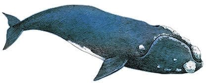 Big-Five-Southern-Right-Whale-Wildmoz.com