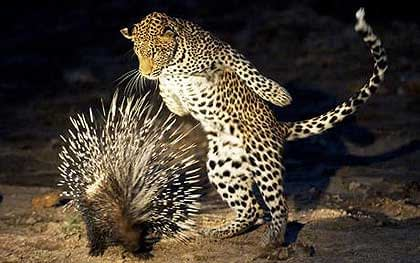 Porcupine-and-Leopard
