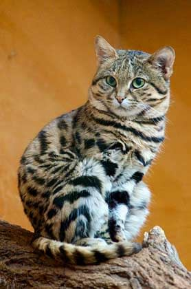 278px_Black_Footed_Cat