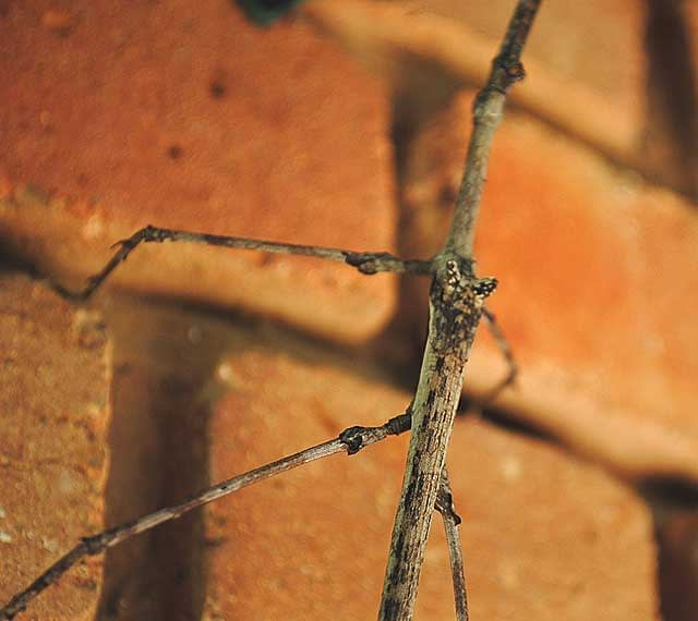 Stick-Insect-Wing-Structure-Wildmoz.com