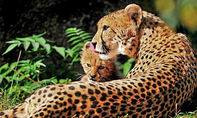 Wildmoz.com-Cheetah-and-Baby-Animals-of-the-Kruger-Park