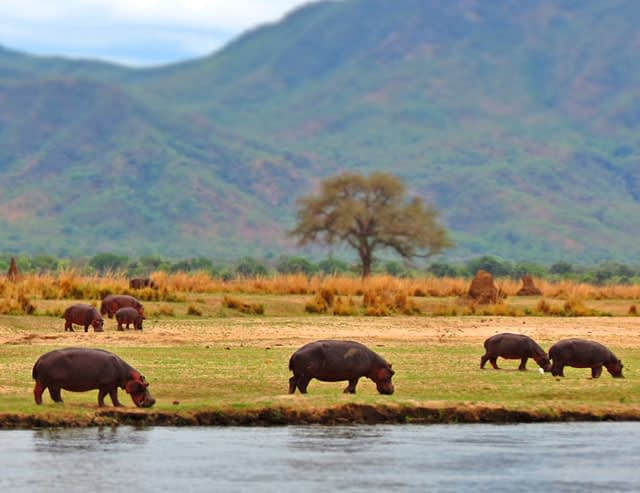 Tanned-Hippos-Grazing-How-Hippo-Lost-His-Hair-Wildmoz.com
