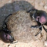 The Legacy of a Dung Beetle