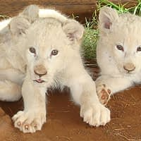 Remember When White Lions Were Discovered?