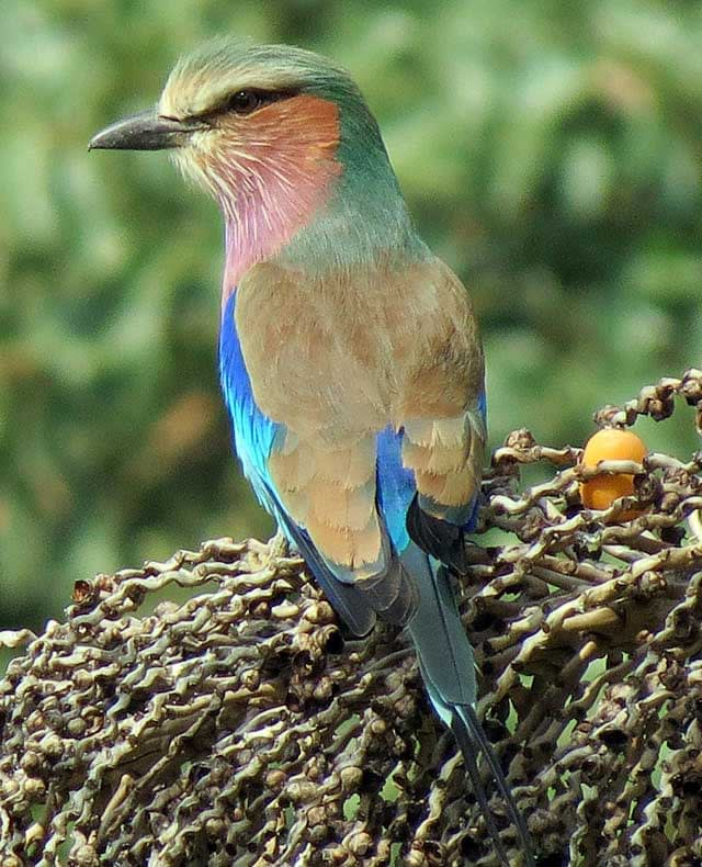 Lilac-Breasted-Roller-Wildmoz.com