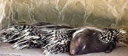 Porcupine-Four-in-a-Row