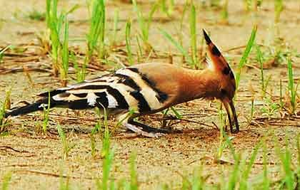 Hoopoe-Drilling-the-Ground