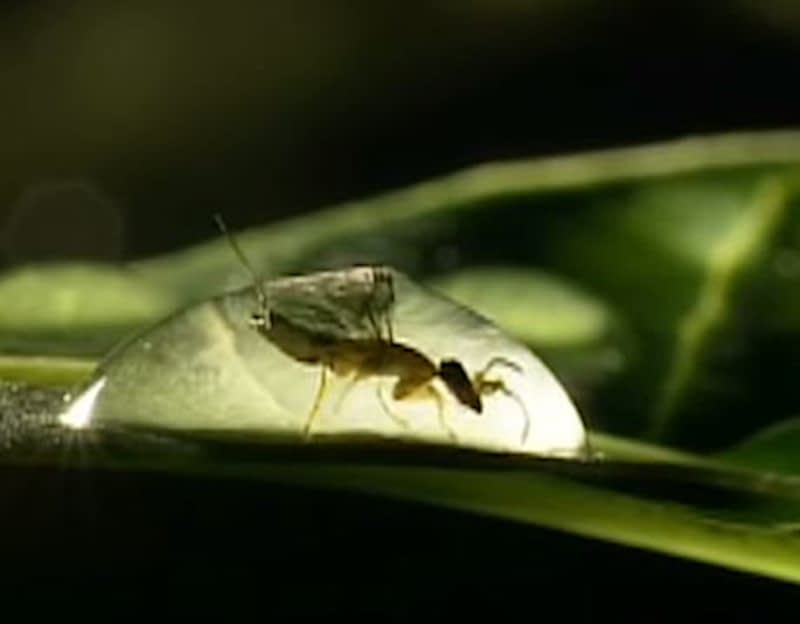 Fig-wasp-water-droplet-CariMostert
