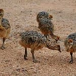 Ostriches Babies on the Loose