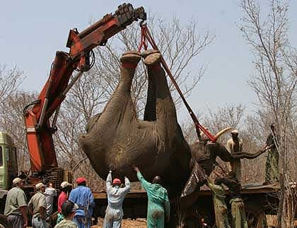 Elephant-Being-Loaded