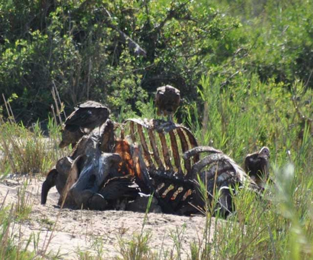 Wildmoz.com-Hippo-Carcase-with-Vultures-Sand-River